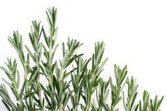 Capítulo de las hierbas frescas del romero del jardín Aislado en blanco foto de archivo libre de regalías