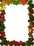 Capítulo de las hojas del geranio Fotos de archivo