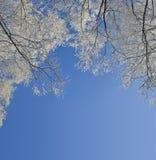 Capítulo de ramas de árboles de abedul con la escarcha cubierta Imagen de archivo