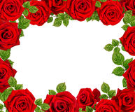 Capítulo de rosas Rosas rojas en un fondo blanco Fotografía de archivo libre de regalías