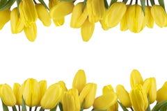 Capítulo de tulipanes amarillos en un fondo blanco aislado Imagen de archivo