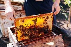 Capítulos de una colmena de la abeja Apicultor que cosecha la miel El fumador de la abeja Imagen de archivo libre de regalías