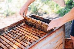 Capítulos de una colmena de la abeja Apicultor que cosecha la miel El fumador de la abeja Fotos de archivo libres de regalías