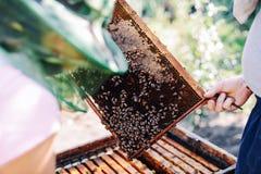 Capítulos de una colmena de la abeja Apicultor que cosecha la miel El fumador de la abeja Imagen de archivo