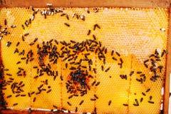 Capítulos de una colmena de la abeja Apicultor que cosecha la miel El fumador de la abeja Fotografía de archivo libre de regalías