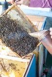 Capítulos de una colmena de la abeja Apicultor que cosecha la miel Utilizan al fumador de la abeja para calmar abejas antes de ma Imagen de archivo libre de regalías