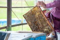 Capítulos de una colmena de la abeja Apicultor que cosecha la miel Utilizan al fumador de la abeja para calmar abejas antes de ma Imagen de archivo