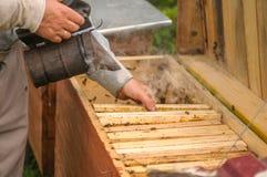 Capítulos de una colmena de la abeja Apicultor que cosecha la miel Utilizan al fumador de la abeja para calmar abejas antes de re Fotografía de archivo libre de regalías