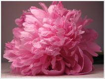 Cap big pink peony. Cap huge pink peony lies on the leaflet in the box Royalty Free Stock Images