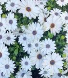 cap blanc Marguerite Daisies dans un domaine photo stock