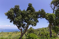 Cap Camarat, landscape with old trees, Southern Europe Stock Photo