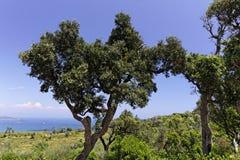 Cap Camarat, landskapet med gamla träd, Sydeuropa Arkivfoto