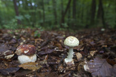 Cap and Death Cap Mushroom closeup Stock Photography