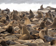 Cap Fur Seals - Namibia Royalty Free Stock Image