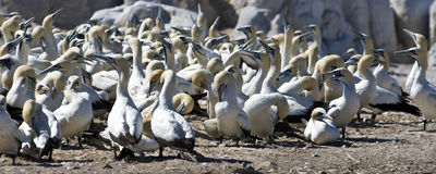Cap Gannets Photographie stock libre de droits