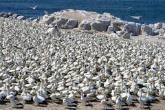 Cap Gannets Photos stock
