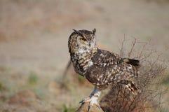 Cap repéré Eagle Owl s'asseyant sur la roche photos stock