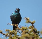 Cap Soufflé-vers le haut Starling avec l'assiette photo libre de droits