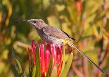 Cap Sugarbird photos stock