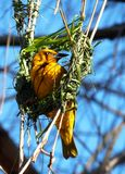 Cap Weaver Bird South Africa Images stock