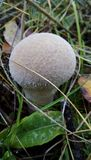 Capa de chuva do cogumelo Foto de Stock Royalty Free