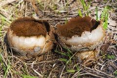 Capa de chuva do cogumelo (Lycoperdon) Fotos de Stock