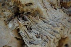 Capa de la piel del árbol del árbol de powell moluqueños del cajuputi de Melaleuca foto de archivo