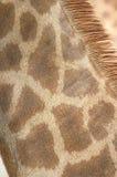 Capa del cuello de la jirafa Fotografía de archivo