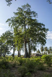 Capanna al di sotto di un albero gigante Immagini Stock