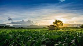 Capanna dell'agricoltore sul campo di grano verde in giardino agricolo Fotografie Stock Libere da Diritti