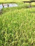 capanna nel giacimento del riso Fotografia Stock