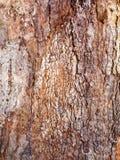 Capas texturizadas gruesas de la corteza en el árbol viejo, Sydney, Australia fotografía de archivo libre de regalías