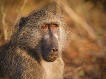 Cape baboon in early morning sunlight Royalty Free Stock Images