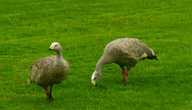 Cape Barren Geese Stock Photo