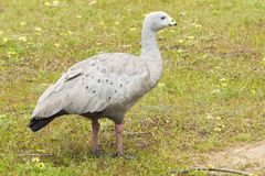 Cape Barren geese Stock Images