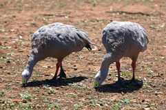 Cape barren geese Royalty Free Stock Image