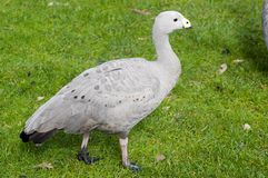 Cape Barren Goose. A mature Cape Barren Goose - an endangered Australian native bird stock images