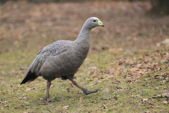 Cape barren goose Stock Photography