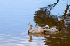 Cape Barren Goose. The Cape Barren Goose (Cereopsis novaehollandiae) is a large goose resident in southern Australia Royalty Free Stock Photos