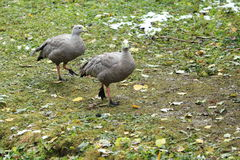 Cape barren goose Royalty Free Stock Image
