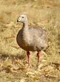 Cape Barren Goose. Is a migratory bird found in Kangaroo Island, Australia Stock Photo