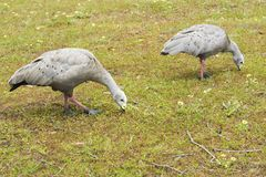 Cape Barren goose. Cereopsis novaehollandiae - is a large goose resident in southern Australia Royalty Free Stock Images