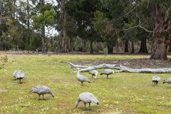 Cape Barren goose. Cereopsis novaehollandiae - is a large goose resident in southern Australia Stock Photography