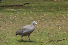 Cape barren goose royalty free stock photography