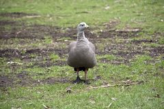 Cape Barren Goose. The Cape Barren Goose is walking across the field looking for food Royalty Free Stock Photo