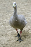 Cape barren goose. The cape barren goose is walking across the paddock Stock Images