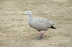 Cape barren goose. The cape barren goose is walking across the paddock Royalty Free Stock Images