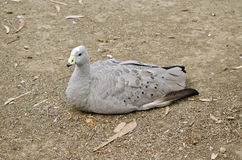 Cape barren goose. The cape barren goose is walking across the paddock Stock Photo