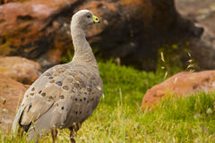 Cape Barren Goose (Cereopsis Novaehollandiae) Royalty Free Stock Image