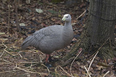 Cape Barren Goose, Cereopsis novaehollandiae. A Cape Barren Goose, Cereopsis novaehollandiae Royalty Free Stock Photography